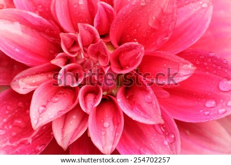 Macro image of a light red color dahlia flower in fresh blossom with droplets on petals - stock photo