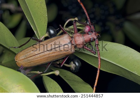 Macro image of a long horn beetle on green leaves - stock photo