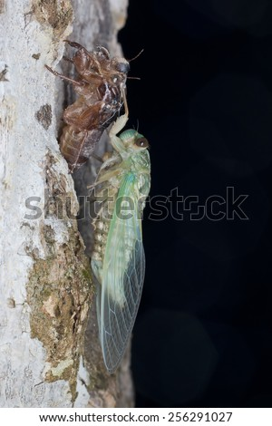 Macro image of a newly emerged green cicada on a tree trunk - stock photo