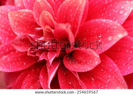 Macro image of a pink dahlia flower with gradual change of color on petals - stock photo