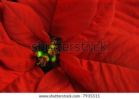 Macro image of a Poinsettia - stock photo