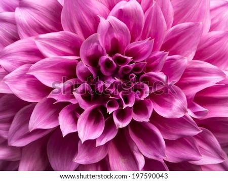 "Macro image of a purple dahlia-hybrid  flower at "" doi-tung"" Chiangrai  Thailand - stock photo"