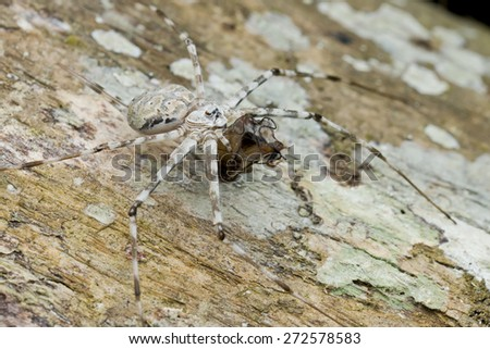 Macro image of a Two-tailed Spider with a moth prey on tree trunk - stock photo