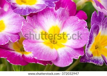 Macro image of colorful primrose (Primula vulgaris). - stock photo