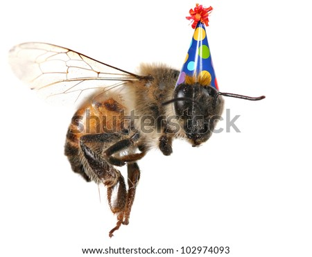 Macro Image of Common Honey Bee From North America Flying With Birthday Hat - stock photo