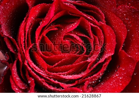 Macro-Image of dark red Rose with water droplets - extreme close-up with very shallow dof - stock photo