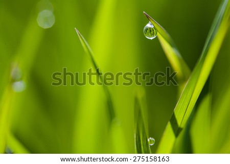 macro image of green grass background with water drops hanging on the leaves being backlit by the sun in the morning - stock photo