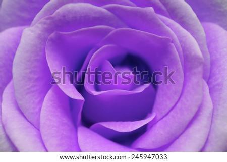macro image of purple rose - stock photo