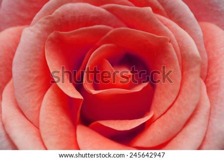 macro image of red rose - stock photo