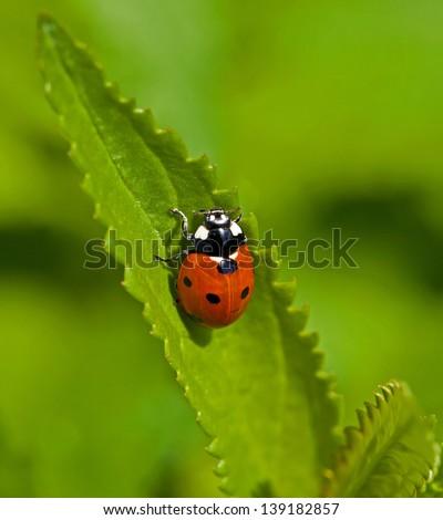 Macro image of Seven-spot Ladybird or Ladybug - stock photo