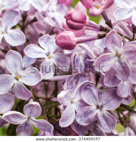 Macro image of spring lilac violet flowers - stock photo