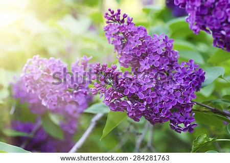 Macro image of spring lilac violet flowers, floral sunny background - stock photo