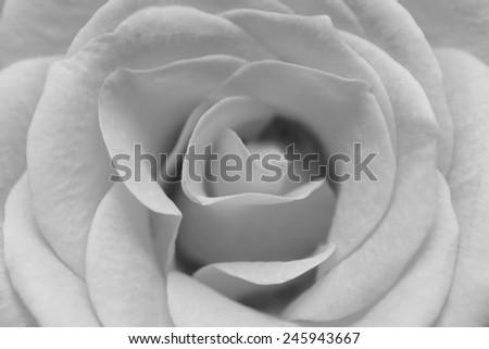 macro image of  white rose - stock photo