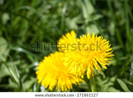 Macro image of yellow spring dandelion flower head in the sun, composed of hundreds of smaller florets, shot on green leaves dark vignette background, showing arrival of spring and pleasant weather - stock photo