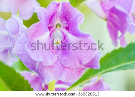 Macro image, Purple Impatiens balsamina (Garden Balsam) in soft color and soft blurred style. - stock photo