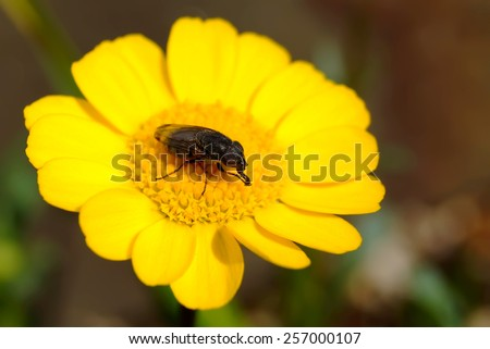 macro insect on yellow flower in japanese garden - stock photo