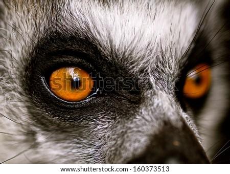 Macro, Lemur Face - stock photo