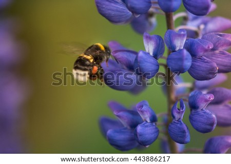Macro Lupine Flower And Flying Bumblebee. Shallow DOF. Blurry Background. Moving Activity - stock photo