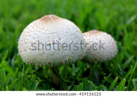 Macro Mushrooms Growing in Grass - stock photo