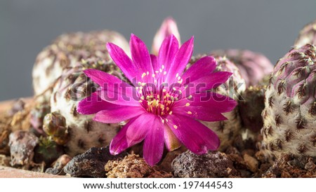 Macro of a blooming rare cactus in front of a one colored background - stock photo