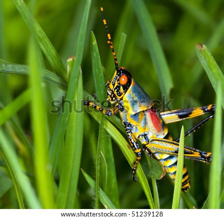 Macro of a bright coloured grasshopper sitting on grass - stock photo