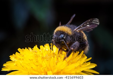 Macro of a bumblebee collecting nectar on Echinacea flower. - stock photo