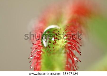 macro of a carnivore plant-swallow DOF - stock photo