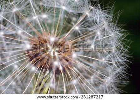Macro of a dandelion - stock photo
