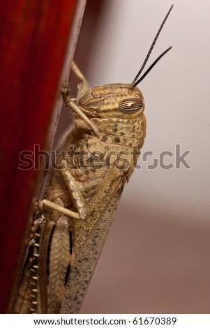 macro of a grasshopper - stock photo