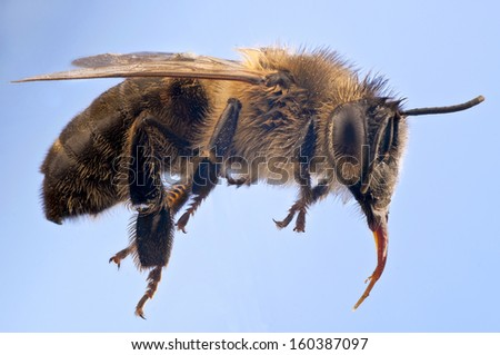 Macro of a Honey bee, Apis mellifer, against a blue background suggesting flight.  Very clear  anatomical details.  Pollen grains on the hairs. - stock photo