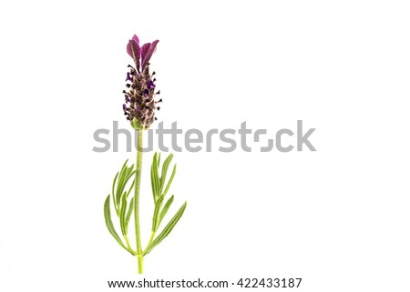 Macro of a lavender flower isolated against white background - stock photo