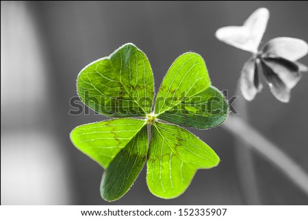 macro of a 4 leaf clover with shadow and some blurs  - stock photo