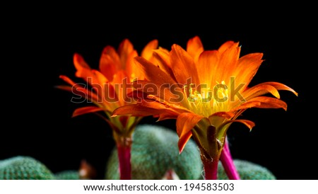 Macro of a orange blooming Rebutia Heliosa - stock photo