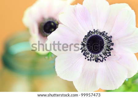 Macro of a pink Anemone still life. - stock photo