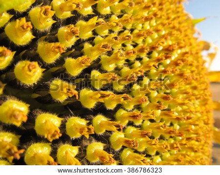 Macro of a sunflower in bloom. - stock photo