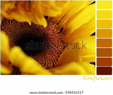 Macro of a sunflower with a color palette of complimentary color swatches. Selective focus on center of flower with extreme shallow depth of field. - stock photo