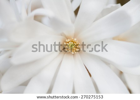 Macro of a white flower of a star magnolia - stock photo