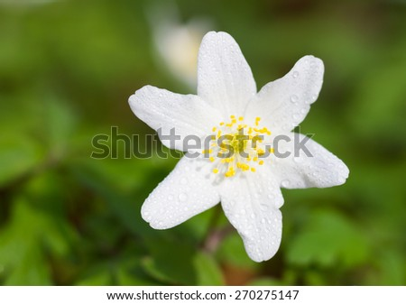 Macro of a white wood anemone in spring - stock photo