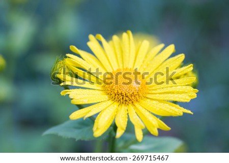 Macro of a yellow Leopard's Bane in spring - stock photo