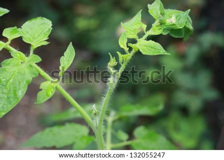 Macro of a young garden tomato plant branch - stock photo