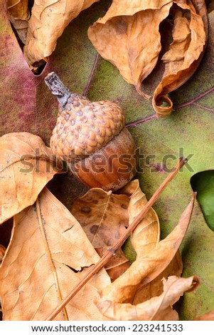 Macro of acorn on colorful autumn leaf - stock photo