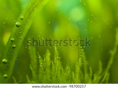 Macro of algae with many little bubbles in aquarium - stock photo