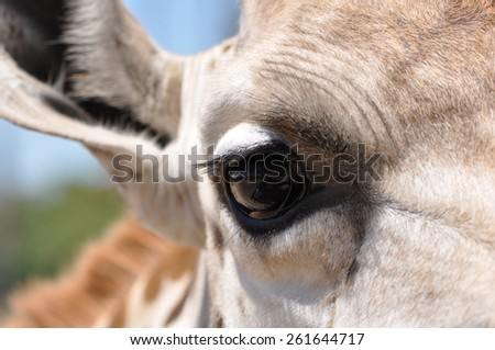 Macro of an adult giraffe (Giraffa camelopardalis) eye - stock photo
