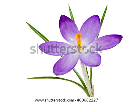 Macro of an isolated purple crocus flower blossom - stock photo