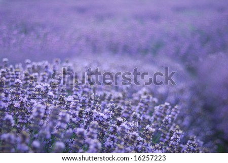 macro of aromatic lavender blossom. purple herbal - stock photo