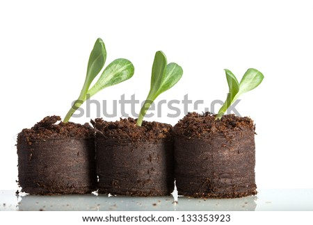 Macro of artichoke (Cynara scolymus) curved sprouts in peat isolated on white - stock photo