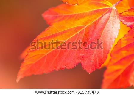 Macro of Beautiful Autumn leaves on defocused background - vibrant colors of fall season - stock photo