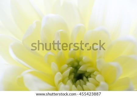 Macro of beautiful beige chrysanthemum - stock photo