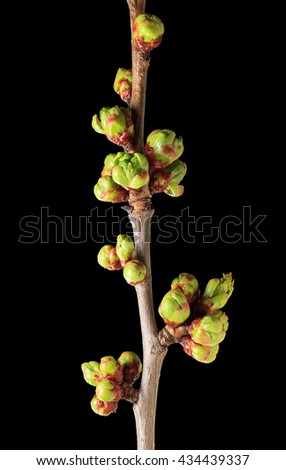 Macro of cherry twig with many blossom buds ready to bloom at spring, isolated on black - stock photo