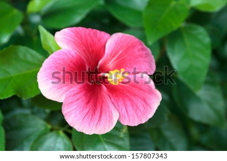 Macro of China Rose flower - stock photo